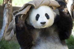 Bai Yun gets the sack (Rita Petita) Tags: baiyun sandiegozoo sandiego california china panda giantpanda specanimal explore