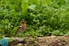 Common Chaffinch (Fringilla coelebs) Paprastasis kikilis