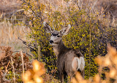 Young Mule Deer - Mesa Verde National Park (dbking2162) Tags: wildlife nature mule deer animal nationalparks mountains fall beautiful folage