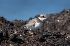 Immature Common Ringed Plover at Skeie S24A0126 (grebberg) Tags: skeie hå rogaland norway september 2016 wader shorebird sh immature commonringedplover charadriushiaticula charadrius plover