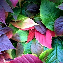 Autumn foliage (Helene Iracane) Tags: iphone iphoneography iphone5s feuilles feuille foliage feuillage fall automne autumn red rouge october octobre nature leaf leaves green vert pourpre photography photographie color colors couleur couleurs colorful colours colour