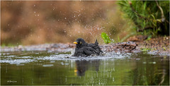 Black bird bathing (Gertj123) Tags: birds bokeh black water reflection lemelerberg hbn3 canoneos1dmarkiv sigma120300mmf28 action waterdrops mirror