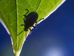 The Backlit Beetle Shadow (Explored) (Samuel Santiago) Tags: macromondays backlit canon7d canonef100mmmacrof28 lightroomcc beetle leaf macro shadow