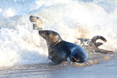 Seals at Play (Wide Aperture) Tags: norfolk seal sealife beach sea coast wave