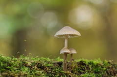 Under mothers umbrella (Erik0067) Tags: mushroom fungi artistic mycena pilze seta hongo champignon
