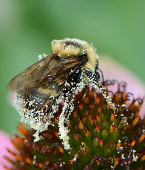 Bumblebee on Coneflower (ctberney) Tags: bumblebee coneflower insect pollen harvesting