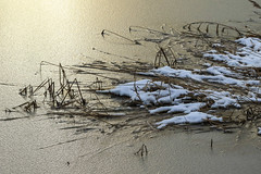 Frozen lake surface with reeds in the golden light of the setting sun (irena iris szewczyk) Tags: snow lake surface frozen irenairisszewczyk reeds light golden sunset nature plants icy