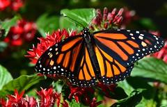 Autumn Colors of Florida DSC_0738 (blthornburgh) Tags: thornburgh tampa florida flyinginsect flower insect outdoors orange pattern monarch monarchdanausplexippus milkweedbutterfly butterfly backyard closeup