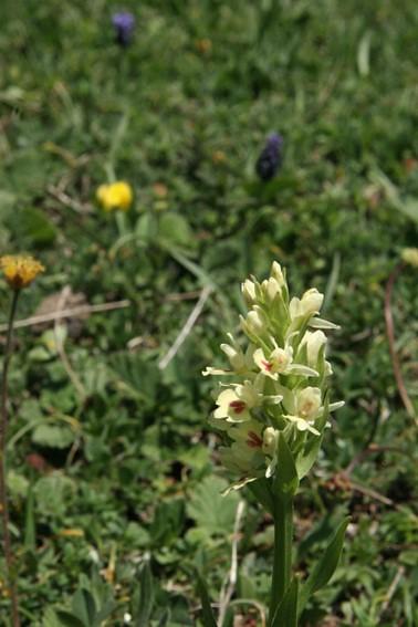 orchis insularis bertonii