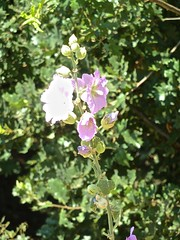 Malvoidea spec 7 (heinvanwinkel) Tags: bloemen kastraki