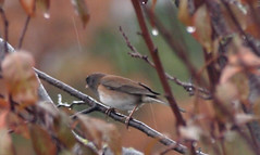 Birdwatching 20141211 (caligula1995) Tags: 2014 bird junco plumtree rain