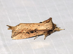 Ramesa albistriga, Notodontidae Ceirinae (Green Baron Pro) Tags: 200902 frasershill moth lep jelaibungalow notodontidae malaysia