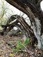 Ancient habitat (dalesins) Tags: presqueislestatepark ancientforest natural phases tree decay imperfections eriepa cellphonecamera cellphonelenses nexus6p huaweinexus6p