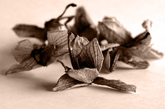 Natura morta.....morta ... (Claudio Taras) Tags: claudio contrasto controluce taras trier flower fiori orchiedea bw bokeh biancoenero black shadow sepia sigma macro toned nikon natura dof monocromo profondita´dicampo