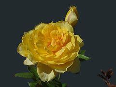 DSC00846 (gregnboutz) Tags: flower flowers bloomingflower bloomingflowers brightflowers colorfulflowers colorfulflower gardenflower macroflowers macro macros macroflower macroroses macrorose yellow yellowrose yellowroses yellowflower yellowflowers