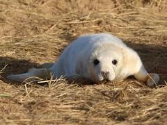 Grey Seal Pup (robin denton) Tags: seals seal pup greyseal animal nature lwt lincolnshirewildlifetrust wildlifetrust halichoerusgrypus donnanook wildlife