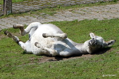 Esel (HITSCHKO) Tags: esel hausesel equusasinusasinus afrikanischeresel equusasinus pferde equidae unpaarhufer perissodactyla