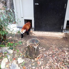 Красная пандочка #redpanda #washingtonzoo
