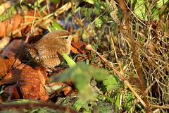 Little wren (david.england18) Tags: wren littlewren smallbirds various tits blue coal great mouse poppedup queensparkheywood canon7d canonef70200mmf28lisllusm birdsuk