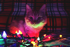 Squash Sits (kmaddoxreksten) Tags: cats cat catphotography catphoto colourphotography color photo brightlights brightphotography christmas christmaslights christmastree christmascats kittens tabby mainecoon fluffy persian