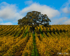 Estate Manager - San Joaquin County, California (Tactile Photo | Greg Mitchell Photography) Tags: loneoak sanjoaquincounty landscape soft saturday 2016 clouds bluesky morning oaktree tree november sunrise greengrass liveoak valleyoak color plowed pastel field