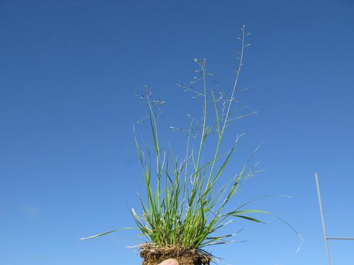 Eragrostis alveiformis plant3 NWS