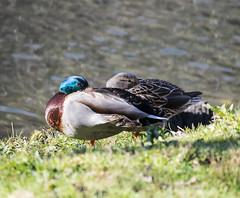 Asleep Watching (shannon_blueswf) Tags: duck ducks mallards water dam asleep awake eye nature nikon bird birds