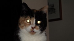 Autumn (universalcatfanatic) Tags: cats autumn tortoiseshell tortie calico orange black white cat stare staring sit sitting card table cardtable living room livingroom glow glowing eyes eye brown yellow hang hanging picture hallway hall way cabinet whisker whiskers nose close up
