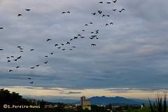 Flight of the Parakeets over  San Salvador (ssspnnn) Tags: passaros periquito parakeet pericos birds spnunes snunes spereiranunes nunes canoneos70d elsalvador sansalvador cuscatlan elarco passarinhos revuelo revoada