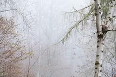 Melancholy (Tom_Drysdale) Tags: wood autumn silver larch tree mist mood fog woodland birch