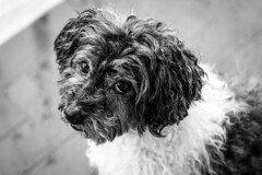 Rudy (cristianmighetti) Tags: dog rudy love animals cane bw bianco e nero eyes occhi amore gioia happy candy ogniricciouncapriccio hair capelli canon 7d 70200isii 175528