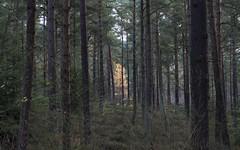 Devilla Forest (Ashleyarr-) Tags: fife forest devillaforest scotland landscape tree