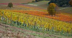 Lone trees in the vineyard, autunm (I) (Modesto Vega) Tags: arbol autumn d600 denbies denbiesestate fullframe landscape nikon nikond600 otoño outdoor paisaje tree vine vinerow vineyard viña viñedo f10