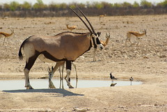 Oryx (Dorota Zapisek) Tags: oryx etosha namibia africa nature animal antelope gemsbok