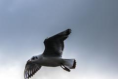 Flying, soaring (garlick.rachel) Tags: gull seagull fly soar sky