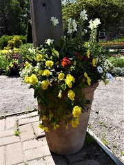 Wheaton, IL, Cantigny Park, Idea Garden, Potted Flowers (Mary Warren (7.6+ Million Views)) Tags: wheatonil cantignypark nature flora green plants garden pottedplant yellow white red blooms blossoms flowers
