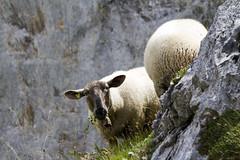 Seen (Pavel Vanik) Tags: mountain mountains alps look animal canon schweiz switzerland sheep suisse swiss 7d alpen svizzera seen alpi wallis valais gemmipass sigma150600c