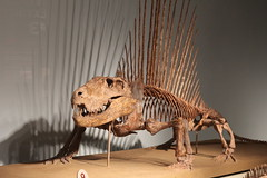 Field Museum (fordc63) Tags: chicago field museum fossil naturalhistory prehistoric prehistory dimetrodon permian