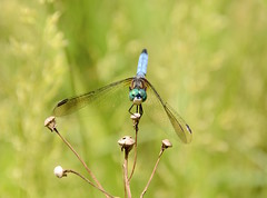 Dragonfly (Sarah Hina) Tags: dragonfly handstand