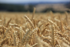 Wheat ready for Harvest. (Seckington Images) Tags: wheat harvest