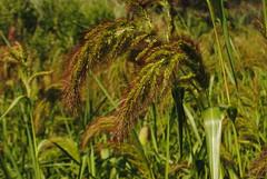 Echinochloa walteri (FloraNYC) Tags: nyc wild urban ny nature grass flora native coastal urbannature wildflower echinochloa echinochloawalteri coastalbarnyardgrass