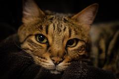 Selkie (steve_x.photo) Tags: cat feline pussy lap meow resting bengal