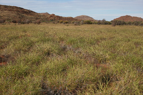 Buffel grass__APY_2014