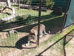 20150919_113614 (mjfmjfmjf) Tags: oregon zoo 2015 greatcatsworldpark