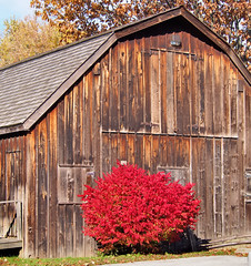 19thC board-and-batten horse barn and drive shed - Bradley Museum, Mississauga, Ontario (edk7) Tags: autumn ontario canada flower colour building tree fall architecture barn board knot shrub mississauga weatheredwood knottypine horsebarn batten oldstructure boardandbatten 2013 bradleymuseum driveshed bradleyhousemuseum edk7 olympuspenliteepl5 gambrelroofline