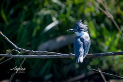 Kingfisher (Angeline Haslett Photography) Tags: canada bird outdoors coast pacific northwest wildlife columbia kingfisher british