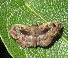 Quadrus cerialis, Common Blue-Skipper (Birdernaturalist) Tags: butterfly wings skipper bolivia hesperiidae pyrginae richhoyer achlyodini