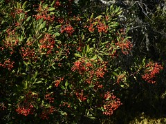 Ripening berries of native Toyon (Heteromeles arbutifolia, Rosaceae) (Treebeard) Tags: california berry santabarbaracounty rosaceae toyon sanmarcospass christmasberry heteromelesarbutifolia californiaholly