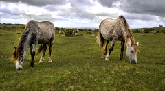 Bodmin Ponies (C.G.Photos) Tags: travel england cornwall ponies bodmin