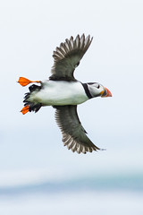 Puffin (Steve Moore-Vale) Tags: england birds fauna islands flying flora unitedkingdom wildlife united kingdom places atlantic northumberland puffin farne farneislands florafauna arctica fratercula atlanticpuffin fraterculaarctica